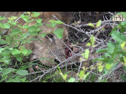 Unseen Footage: Old African Lion EATS A Spotted Hyena!!