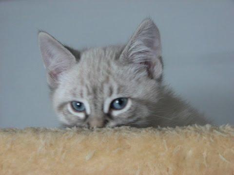 Ragdoll Or Siamese Adopted Beethov...