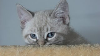 Adopted Beethoven, Male, Lynx Point Siamese/Ragdoll Mix.
