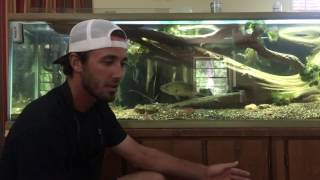 Keeping a wild bass in a home aquarium.