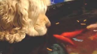 American Cocker Spaniel And Fish