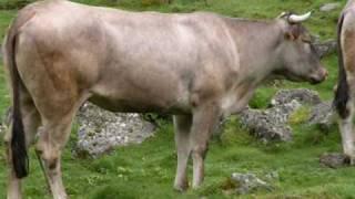 Vaches des Pyrénées / Vacas pirenaicas