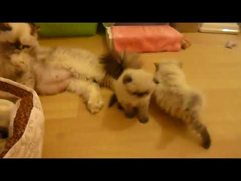 Absolutely Precious Himalayan Seal Point Kittens