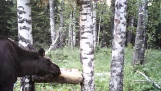 Видео  с ловушки: лось