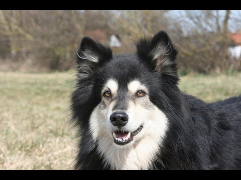 Finnish Lapphund - Dog Breed