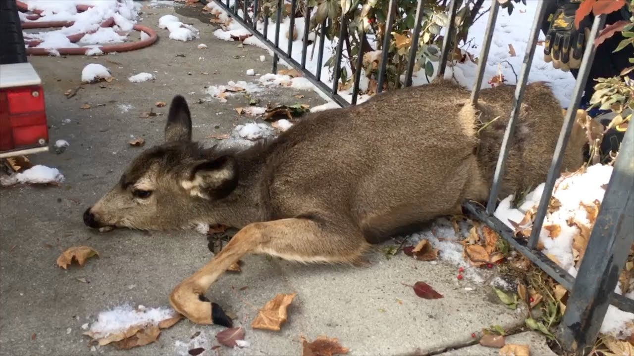 baby-deer-stuck-in-fence-rescued-by-hunter