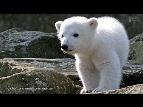 El Adorable Oso Polar Knut (Español)
