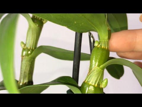 Дендробиум нобиле весь в бутонах. Как заставить дендробиум нобиле цвести? Орхидея Дендробиум уход.