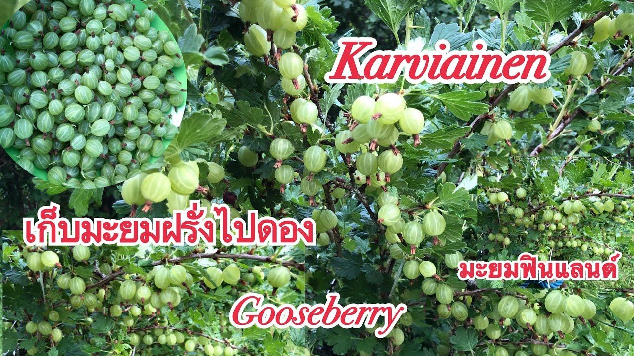 มะยมฝรั่งดกมาก เก็บมะยมฝรั่งไปดองกันจ้า gooseberry