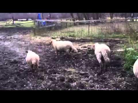 Barefoot farm work 1
