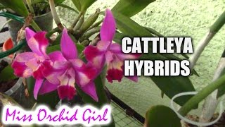 Cattleya orchids and their numerous hybrids
