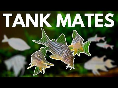 Corydoras Tank Mates: 7 Fish You Can Keep With Corydoras
