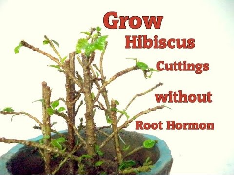 How to Grow Hibiscus From Cuttings  without any root Harmon | propagate hibiscus  with update