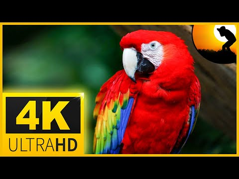 4K VIDEO ULTRAHD MACAW PARROTS BIRDS🦜🦜BEAUTIFUL NATURE - 4K UHD TV COLORFUL SCREENSAVER