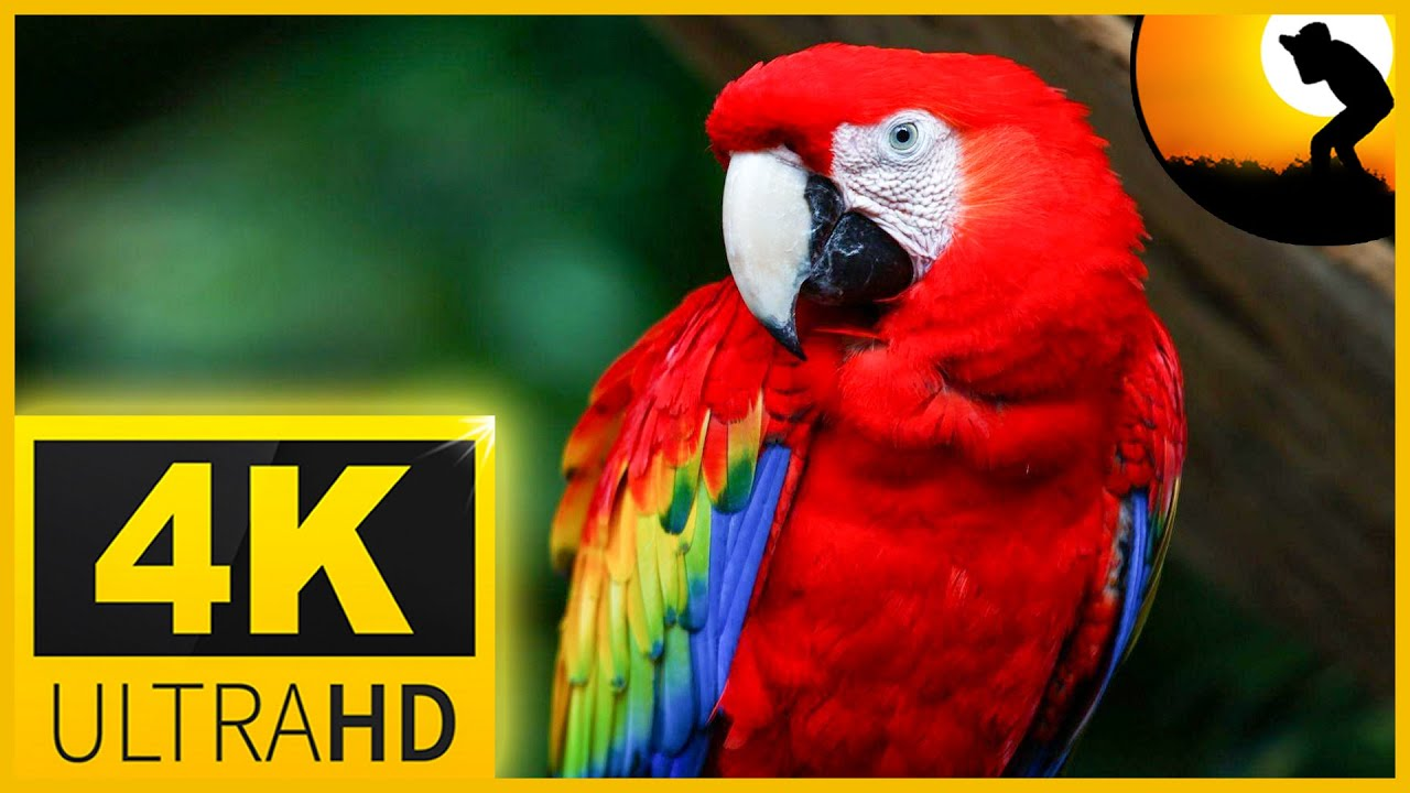 4K VIDEO ULTRAHD MACAW PARROTS BIRDS