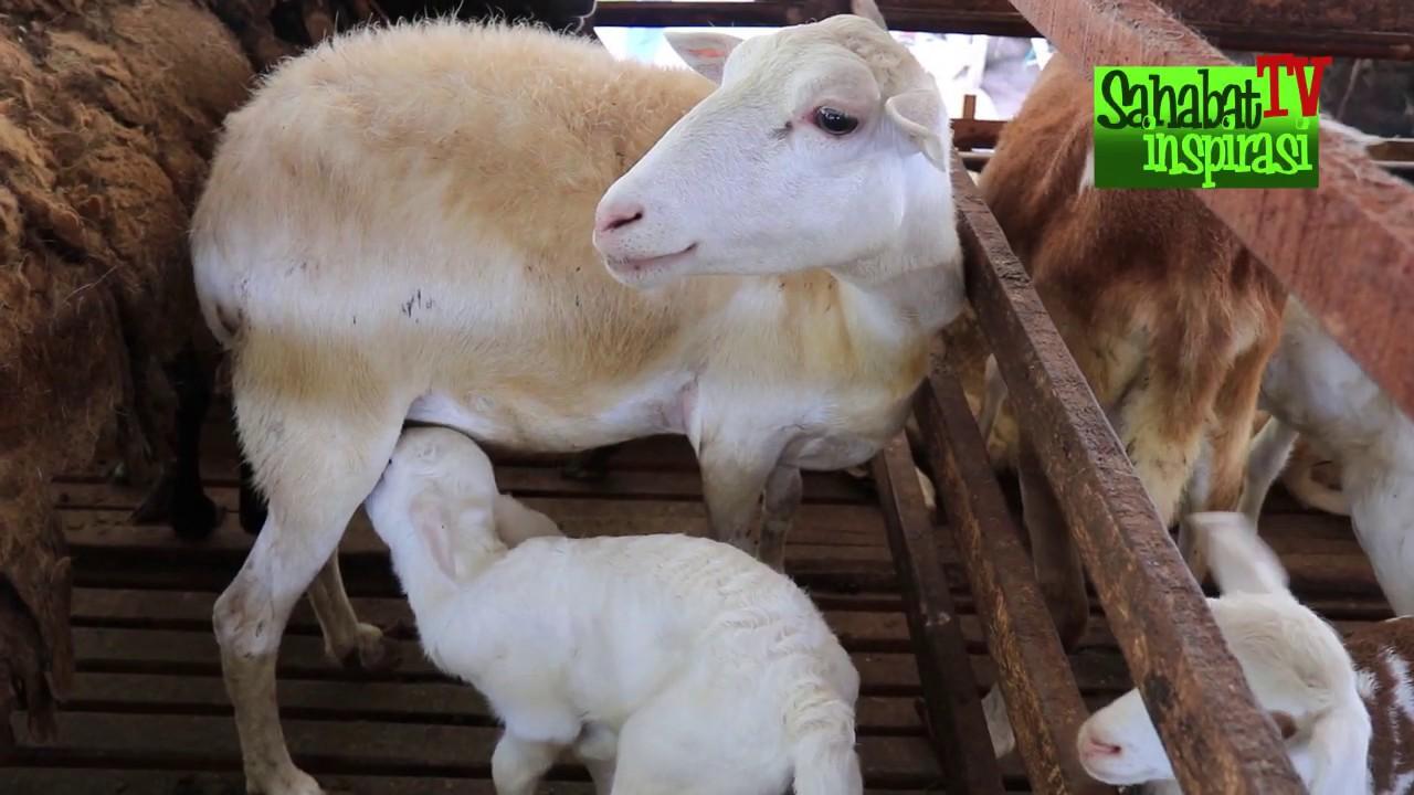 Sukses ternak 600 ekor kambing || omset puluhan juta ...