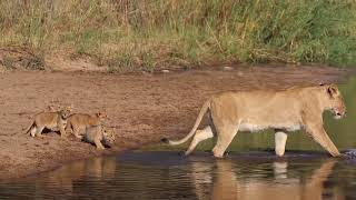 Lion Leads Cubs Through Shallow Waters in South African Game Reserve