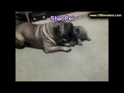 Shar Pei, Puppies, Dogs, For Sale, In Albuquerque, New Mexico, NM, 19Breeders, Rio Rancho