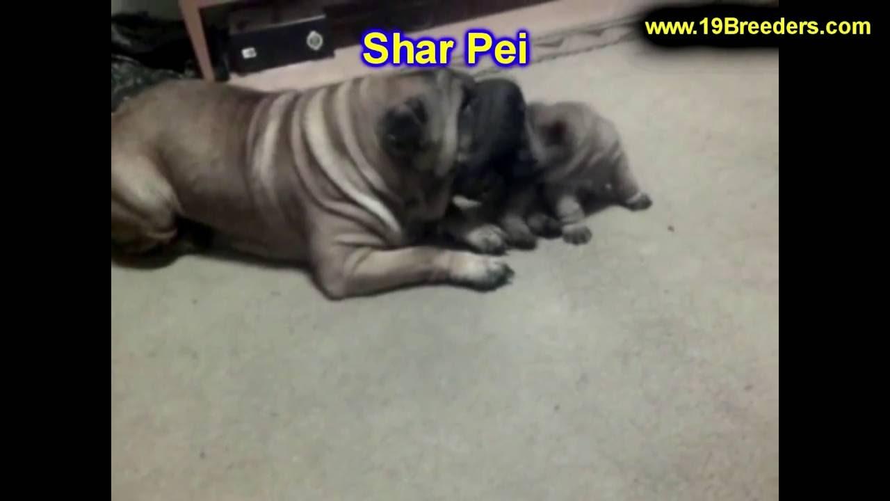 Shar pei puppies dogs for sale in albuquerque new for Shar pei puppies for sale craigslist