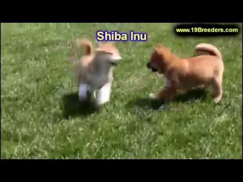 Shiba Inu, Puppies, Dogs, For Sale, In Jacksonville, Florida, FL, 19Breeders, Orlando, Cape Coral