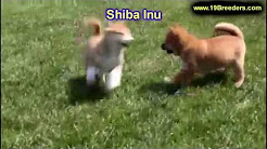 Shiba Inu, Puppies, Dogs, For Sale, In Jacksonville, Florida, FL, 19Breeders, Orlando, Cape Coral