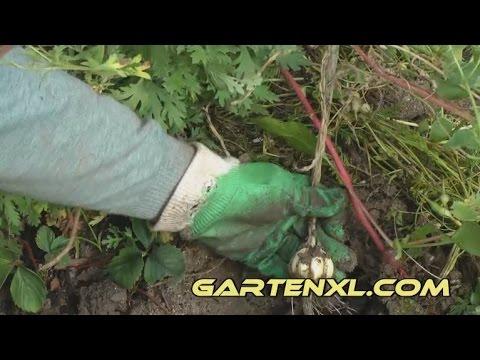 Top Knoblauch ernten / Knoblauchernte - YouTube #MD_14