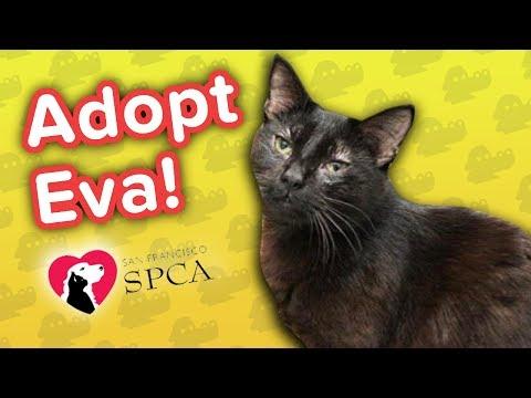 Adopt Eva!! // Bombay Shorthair Mix // Adoption Featurette