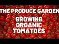 GROWING ORGANIC TOMATOES, trimming your toms