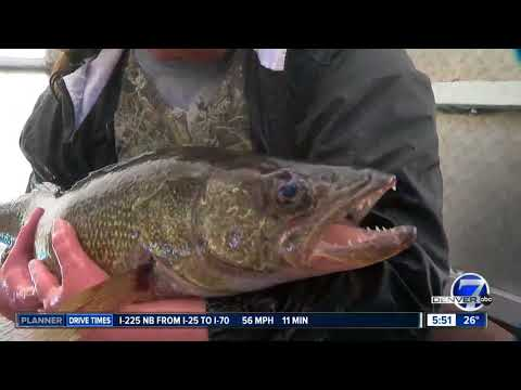 Annual Walleye Fish Spawning Operation Begins At Chatfield State Park