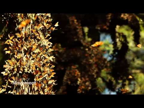 Art Of Movement Monarchs H 264