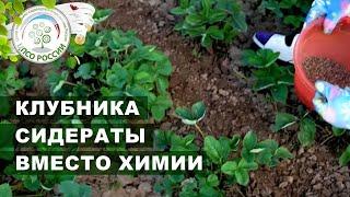 Обязательно посадите сидераты на клубнике после сбора урожая. Подкормка клубники.
