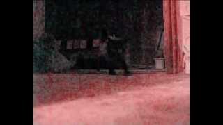 Персидские котята в Гомеле