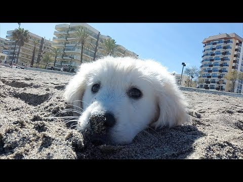 Bailey First Time Goes to the Beach! Puppy Playing on the Beach | Cute Golden Retriever Puppy
