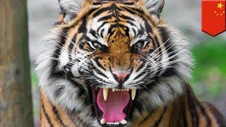 中国福建省の福州動物園で、家畜化されたトラが飼育員を噛み殺す事故が...
