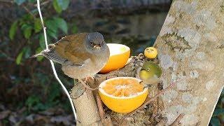 うちになる よく分からないミカンを よく分からない鳥にあげたい ※概要欄を見て下さい!!※