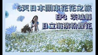 3天日本關東花花之旅 ep3 茨城縣 日立海濱公園粉蝶花 藍花海