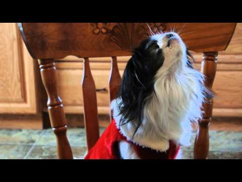 George, The singing Japanese Chin