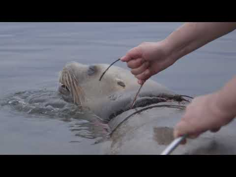 Entangled Sea Lion Freed