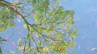 Chinese Garden Koi Pond, Portland, Oregon