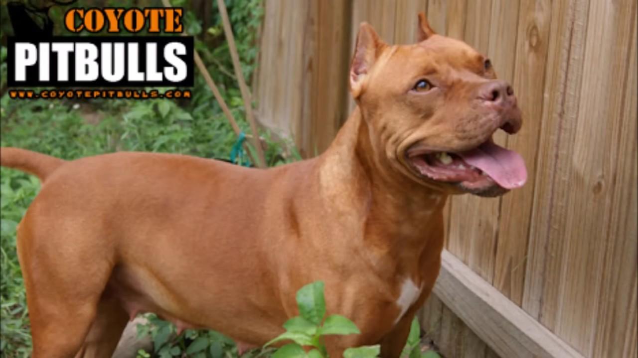 Perros Pitbull American Pitbull Bully Red Nose Pit Bull Terrier