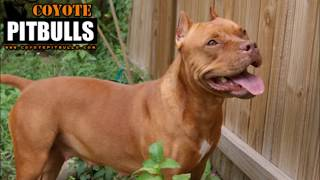 Perros Pitbull (american Pitbull, Bully, Red Nose, Pit Bull Terrier).