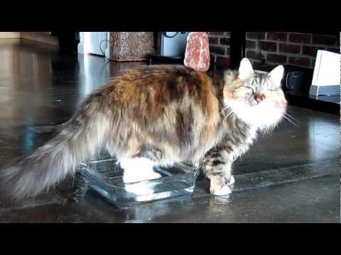 Siberian Cat Plays in Water