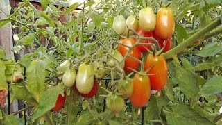 How Protect Your Tomatoes Birds And Rodents