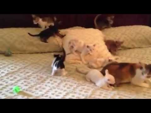 Oriental Shorthair Kittens playing