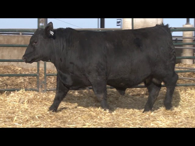 Schiefelbein Angus Farms Lot 73