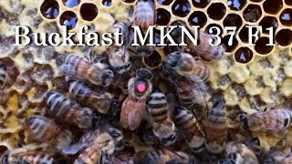 Дочь Buckfast MKN 37 на медосборе