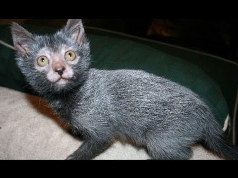 LYKOI CATS Are Awesome: LYKOI CATS Life Compilation