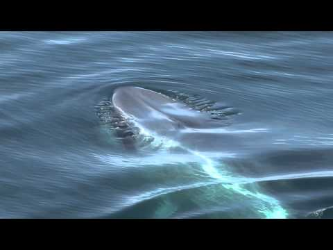 Blue Whale Sighting in the High Arctic