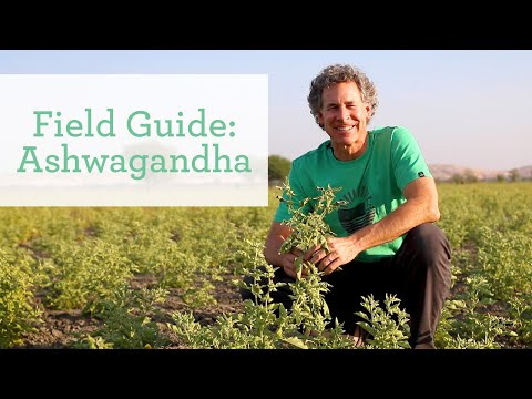 Ashwagandha | Ayurvedic Herb for Energy and Vitality