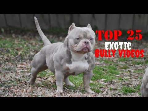 WAIT WHAT Top 25 Best of Exotic American Bully Videos Vol.2